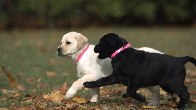 medium pan-left - a black puppy and a white puppy run and play in a park. - two animals stock videos & royalty-free footage