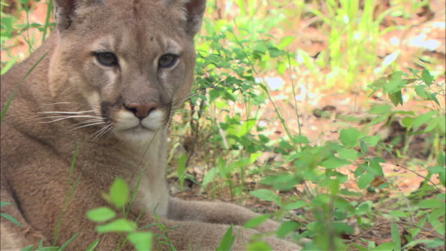 medium pan-left - a mountain lion rests in the shade of a bush / united states - mountain lion stock videos & royalty-free footage
