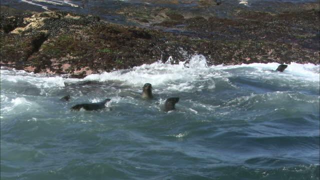 vídeos y material grabado en eventos de stock de medium pan-left pan-right - seals swim and play in rough water on a rocky coast / south africa - foca peluda del cabo