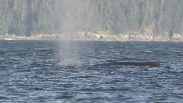"vídeos y material grabado en eventos de stock de ""medium pan-left static-whales surface and spout off the coast of alaska. / alaska, usa"" - salir del agua"