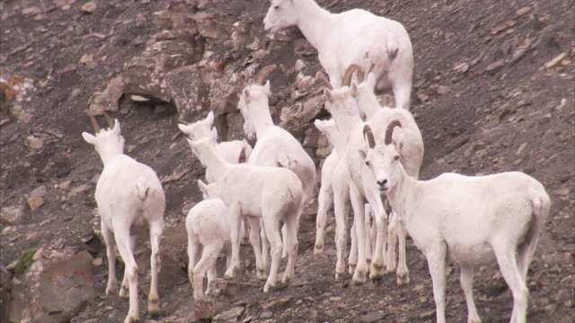 """medium pan-left tilt-up-dall sheep stand on a barren mountainside. / alaska, usa"" - hooved animal stock videos & royalty-free footage"