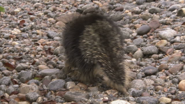 """Medium pan-left-A porcupine waddles across a pebbly beach. / Alaska, USA"""