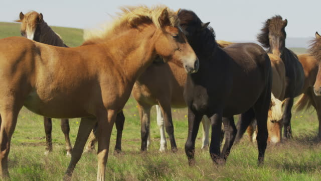 Medium panning shot of Icelandic horses in windy pasture / Rangarvallasysla, Iceland