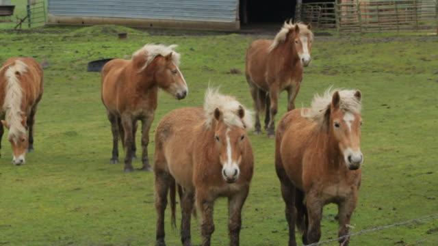 medium panning shot of matching horses standing behind fence - pälsteckning bildbanksvideor och videomaterial från bakom kulisserna