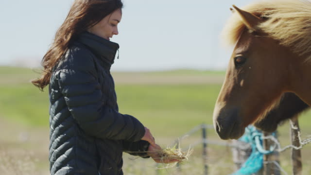 medium panning shot of woman feeding hay to iceland horse / rangarvallasysla, iceland - only mid adult women stock videos and b-roll footage