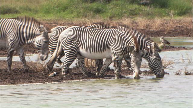 medium pan-right - a herd of zebra drink from a waterhole / kenya - waterhole stock videos & royalty-free footage