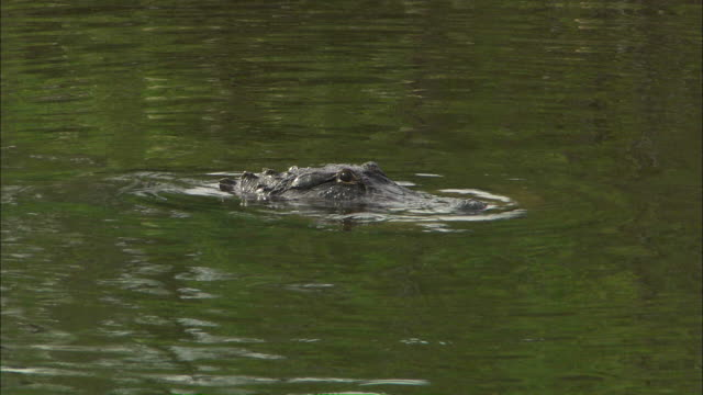 medium pan-right - an alligator chomps a plastic bag with its strong jaw as it swims / florida, united states - バッグ点の映像素材/bロール