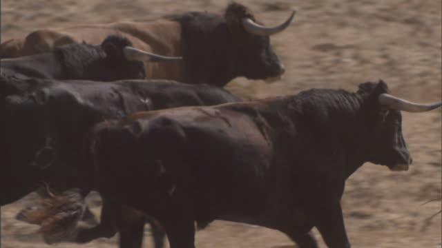 vidéos et rushes de medium pan-right - bulls run across an arid field in tarifa, spain. / tarifa, spain - taureau