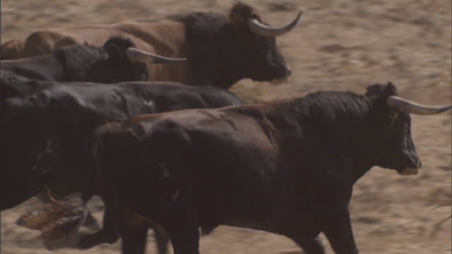 medium pan-right - bulls run across an arid field in tarifa, spain. / tarifa, spain - bull animal stock videos & royalty-free footage