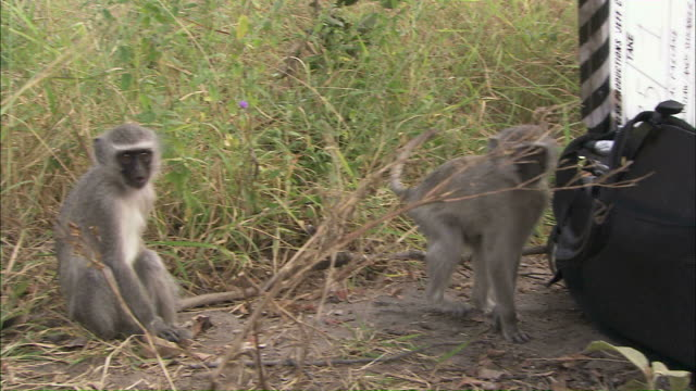 medium pan-right steadicam zoom-in - a vervet monkey pokes around a bag containing a film slate / south africa - film slate stock videos & royalty-free footage