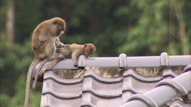 medium pan-right zoom-out - a monkey grooms another monkey on a roof. / malaysia - putsa sig bildbanksvideor och videomaterial från bakom kulisserna