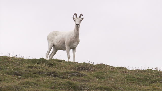Medium pan-right-A Dall sheep watches for danger and then trots across a mountain ridge. / Alaska