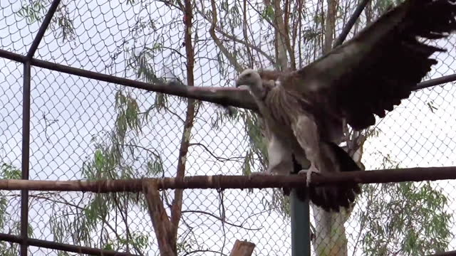 medium, perched vulture flapping wings in a zoo, india - bird of prey stock videos & royalty-free footage
