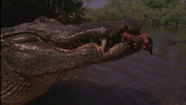 Medium push-in push-out - An American alligator snatches meat from a competitor / Florida, USA