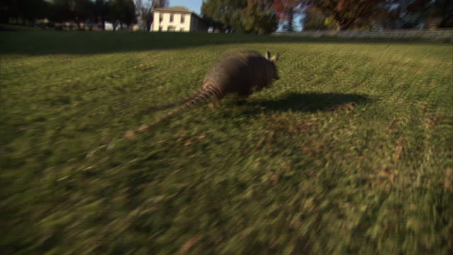 Medium push-in tracking-right - An armadillo leaps across a grassy field in Dallas. / Dallas, Texas, USA
