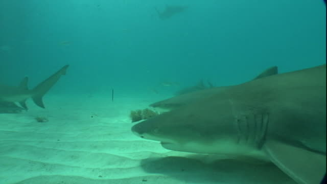 Medium push-in - Two sharks cruise along a seabed.