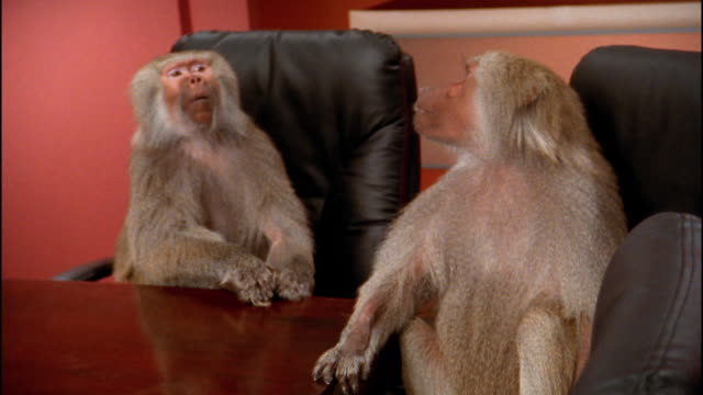 vídeos de stock, filmes e b-roll de medium shot 2 baboons at conference table / talking and listening - macaco