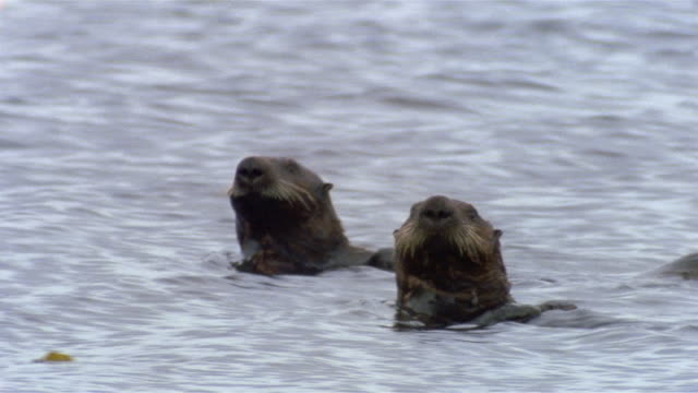 medium shot aleutian sea otter swimming and rearing up / swimming away with another otter / clam lagoon, alaska - pair stock videos & royalty-free footage