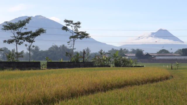 Medium shot and zoom out of a beautiful landscape with a rice field in the foreground and two volcanoes in the background on Java near Yogyarkarta in...