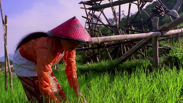 medium shot asian woman bending in field to pick plant with water wheel in background / sumatra, indonesia - indonesian ethnicity stock videos & royalty-free footage