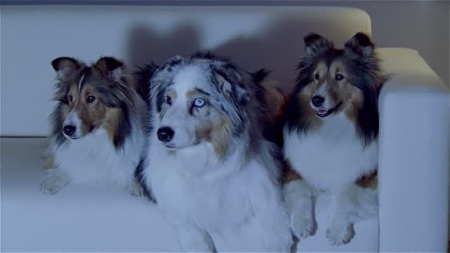 stockvideo's en b-roll-footage met medium shot australian shepherd and two shetland sheepdogs watching television on couch - australische herder