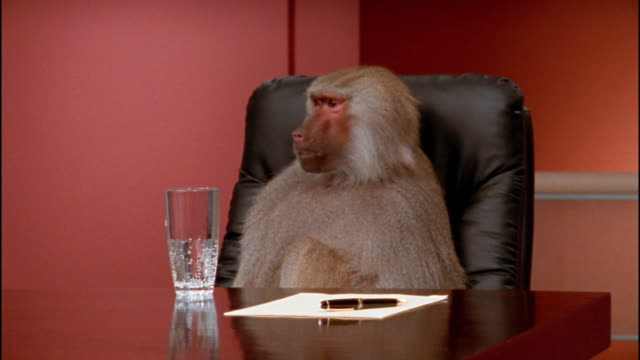 vídeos de stock, filmes e b-roll de medium shot baboon making noise at conference table - macaco