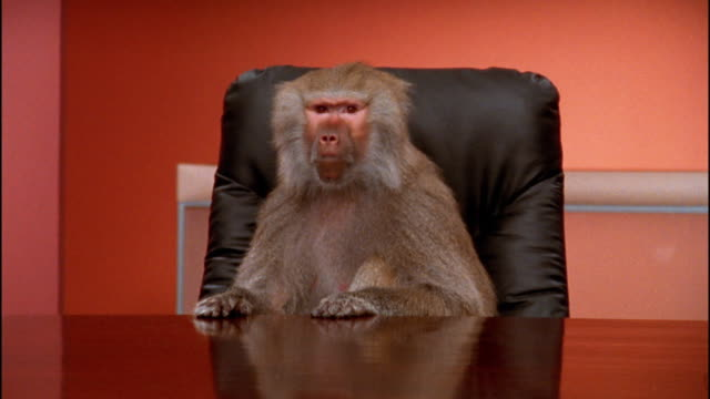 vidéos et rushes de medium shot baboon sitting at conference table / making faces - un seul animal