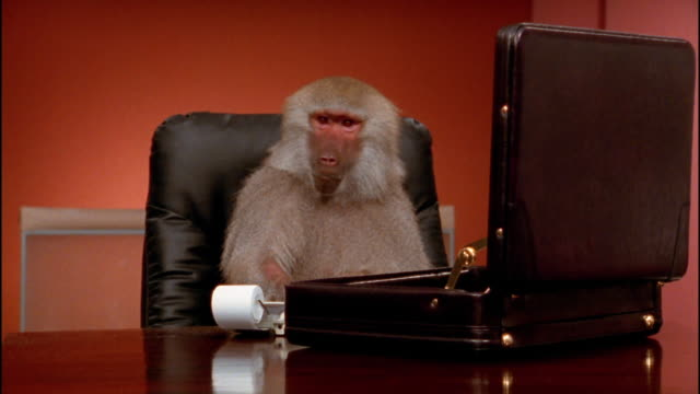 medium shot baboon sitting at desk behind open briefcase pounding on keys of calculator - baboon office stock videos & royalty-free footage