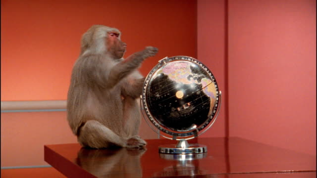 Medium shot baboon sitting on table spinning globe / pushing globe away