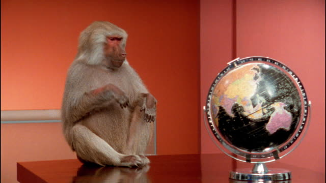 Medium shot baboon sitting on table with globe / pushing globe off table