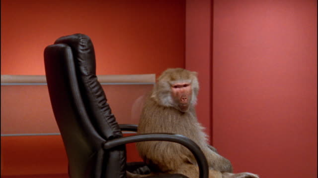 Medium shot baboon turning around in office chair / close up making face