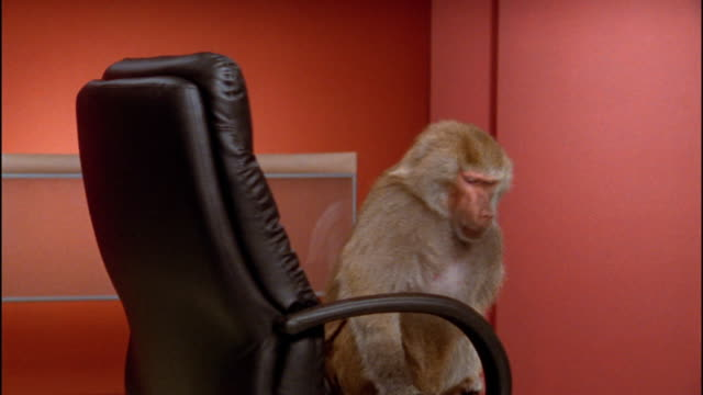 Medium shot baboon turning around in office chair / making face