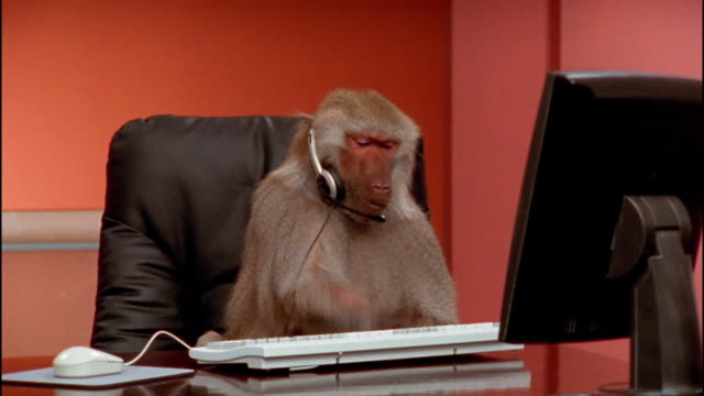 vídeos de stock e filmes b-roll de medium shot baboon wearing headset and pounding on computer keyboard / zoom in to close up / zoom out taking off headset - one animal