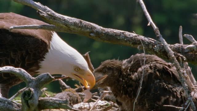 medium shot bald eagle feeding chick in nest / alaska - nest stock-videos und b-roll-filmmaterial