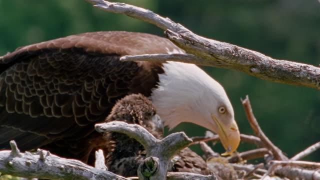 medium shot bald eagle feeding chick in nest / alaska - bald eagle stock videos & royalty-free footage