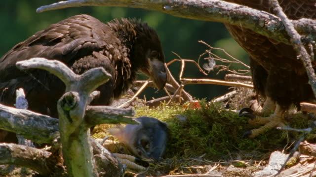 medium shot bald eagle parent in nest / tilt down chick eating salmon / tilt up parent / alaska - young animal stock videos & royalty-free footage
