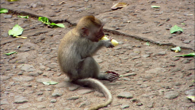 Medium shot Balinese macaque eating banana / woman walking by in foreground at Ubud Monkey Forest Sanctuary / Bali, Indonesia