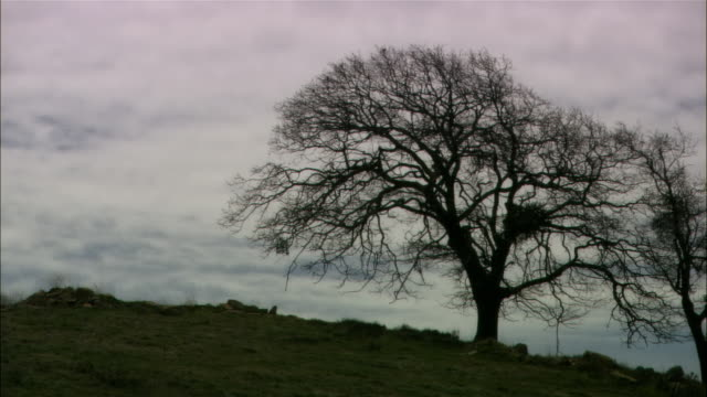 Medium shot bare oak tree on hill, cloudy day