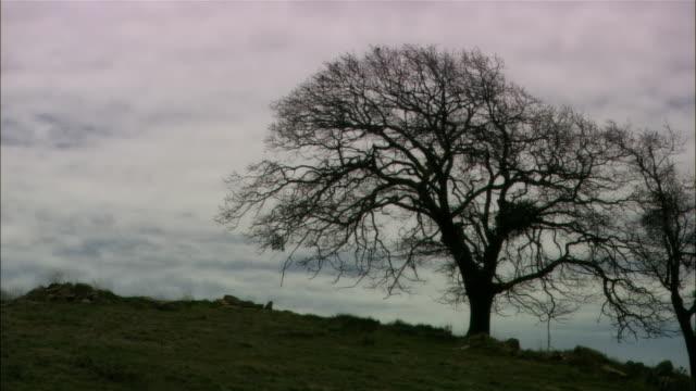 Medium shot bare oak tree on hill, cloudy day