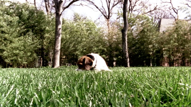 medium shot beagle laying in grass/ dog getting up and walking toward, then past, camera/ dallas, texas - reclining stock videos & royalty-free footage