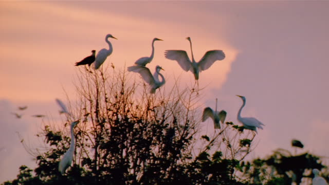vidéos et rushes de medium shot birds perched on top of tree at twilight / venezuela - organisme aquatique