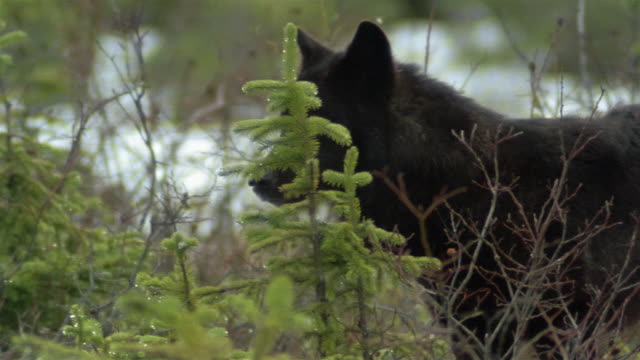 medium shot black timber wolf standing behind low spruce / looking around and yawning / alaska - spruce stock videos & royalty-free footage