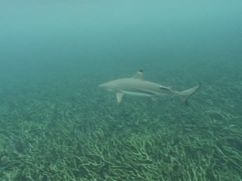 vídeos de stock e filmes b-roll de medium shot black tip reef shark swims right to left above sea floor - barbatana dorsal