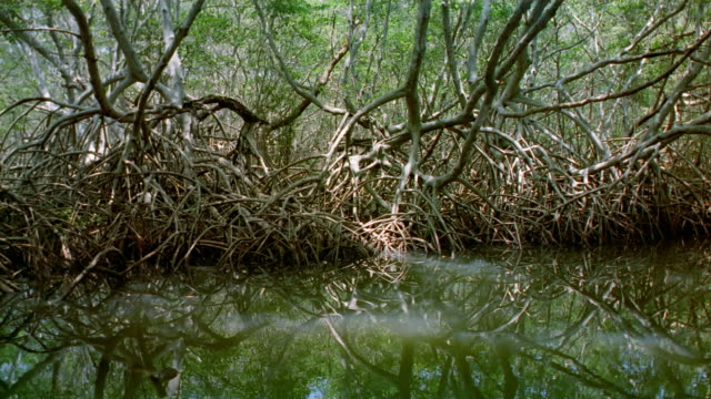 medium shot boat point of view moving past gnarled roots of trees in swamp / venezuela - boat point of view stock videos & royalty-free footage