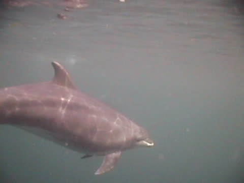 Medium shot Bottlenose dolphin bow-riding and surfacing in front of the camera