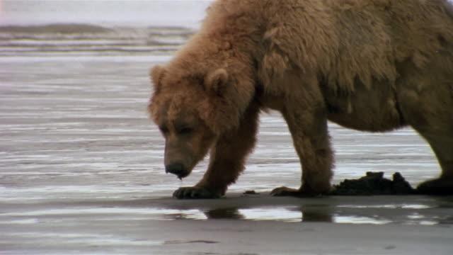 medium shot brown bear digging in clam-flat on katmai coast / eating razor clams / hallo bay, alaska - razor stock videos and b-roll footage