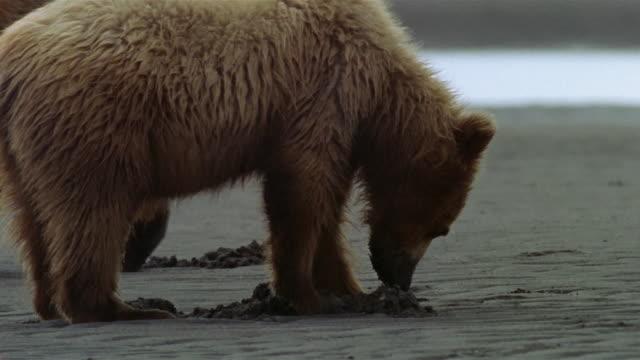 vidéos et rushes de medium shot brown bear mother and cub digging in clam-flat on katmai coast / hallo bay, alaska - bay of water