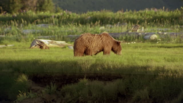 medium shot brown bear mother and cub foraging in grass / hallo bay / katmai coast / alaska - foraging stock videos and b-roll footage