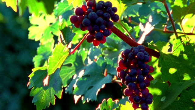 medium shot bunches of grapes hanging on vine/ barboursville, virginia - red grape stock videos & royalty-free footage