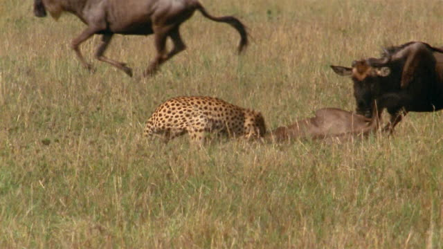 SLOW MOTION medium shot cheetah attacking wildebeest / another wildebeest scaring cheetah off / Africa